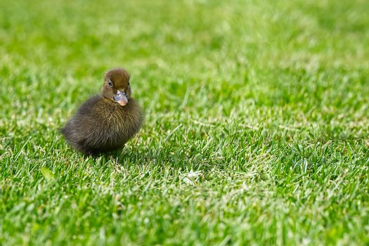 Small newborn ducklings walking on backyard on green grass. Brown cute duckling running on meadow field on sunny day