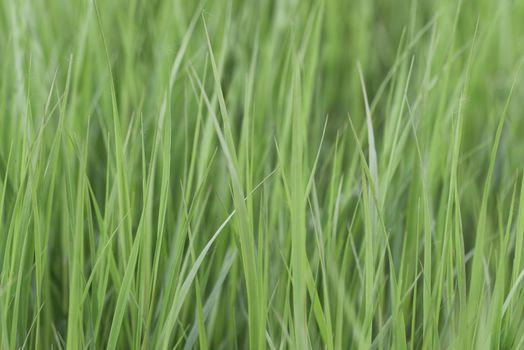 Green grass. Grass background. Green natural background
