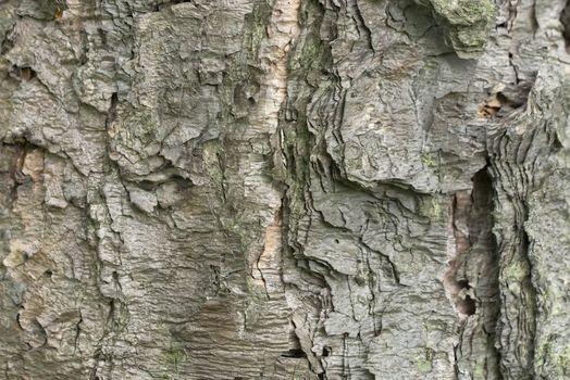 Bark of tree background. Tree bark texture