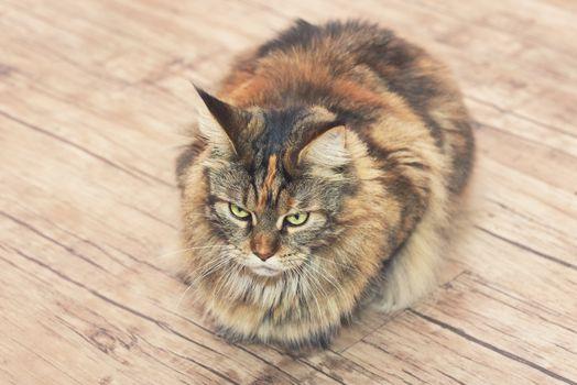 Cat lies on the floor. Maine Coon