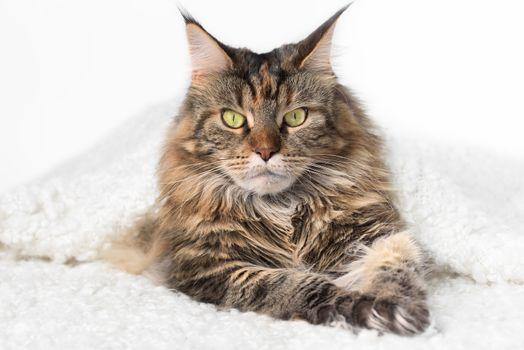 Muzzle cat. Cat lying on white background