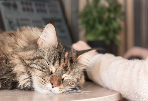 Cat sleeps on the table. Cat Maine Coon. Muzzle cat