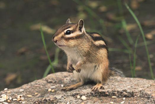 Chipmunk in nature. Cute chipmunk sits on stone