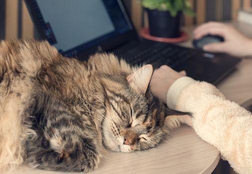 Cat sleeps on the table. Pet sleeping on work desk