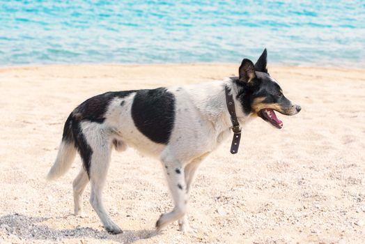Dog on the beach. Dog running on beach