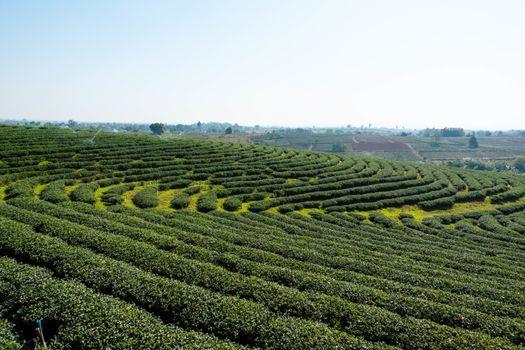Tea plantation in northern of Thailand