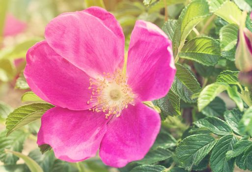 Flower of dogrose. Beautiful flowers of dogrose bloom in spring