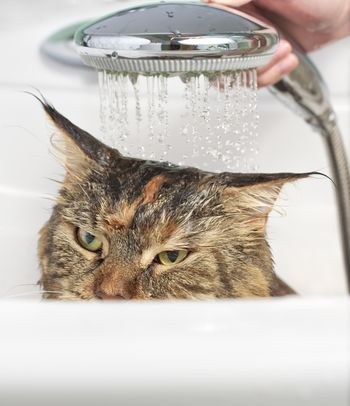 Wet cat. Angry cat in the bath