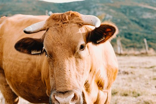 Massive brown cow with big horns looking straight to camera