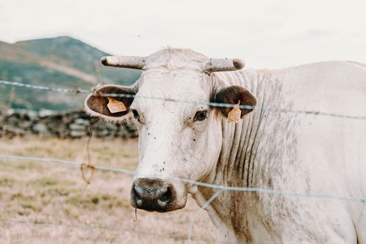 White giant cow with giant horns in the farm looking straight to camera
