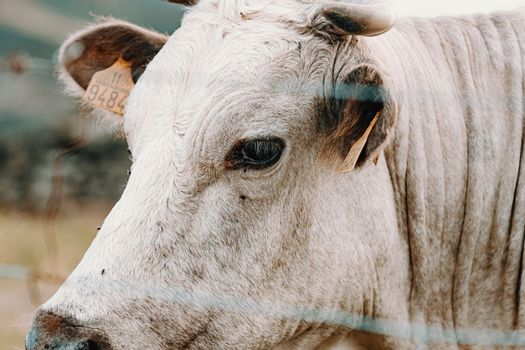 Super close up image of the face of a white cow with giant horns
