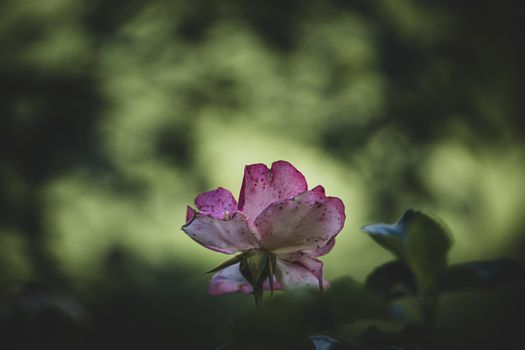 beautiful white-pink rose in a summer garden against a background of green leaves