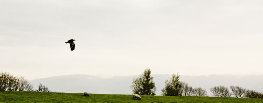 A bird flies quickly across a sheep pasture in northern Germany.