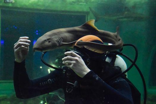 Krasnodar, Russia - January 13, 2019: Scuba Diver plays with a cat shark