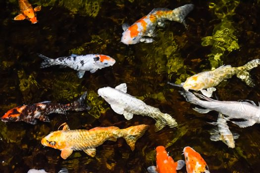 Colorful fancy carp fish, koi fish in the pond, hungry colorful trout.