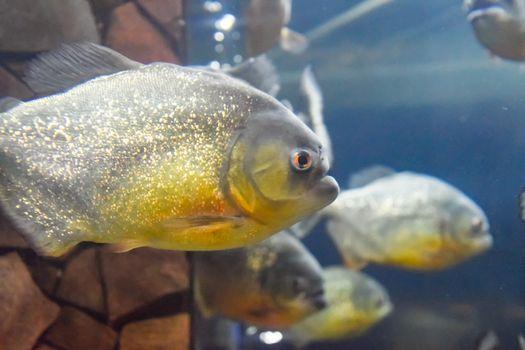Red bellied piranha Pygocentrus nattereri, Wildlife animal.