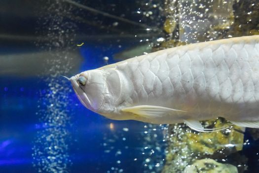 Silver arowana, Osteoglossum bicirrhosum, front part of the body, swimming in aquarium tank, with a blue background