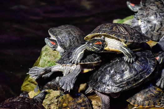 colony of turtles on the stone, reptile turtles