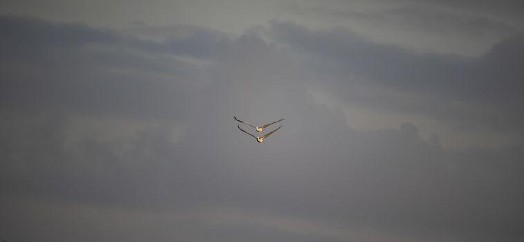 A flock of pelican birds flying in the sky