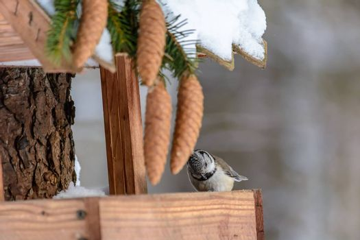 A bird Grenadier sits on a feeder in cold winter