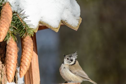 A crested tit sits on a feeder in cold winter