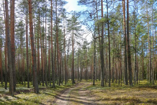 Autumn bright pine forest with a walking path.