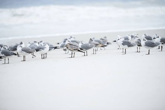 Flock of seagulls at the ocean beach