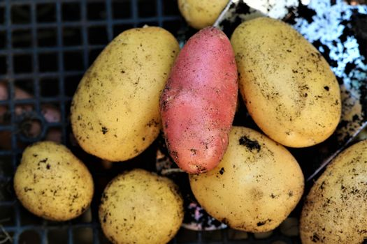 Mixed colored potatoess after harvest