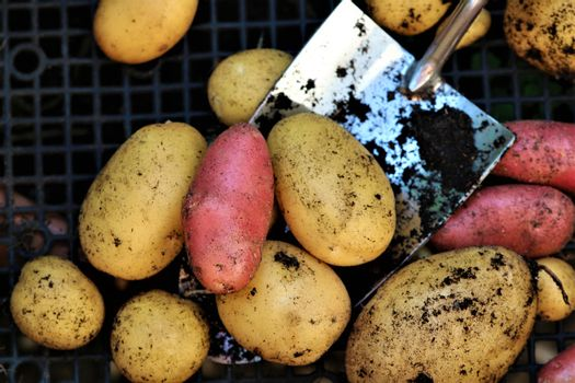 Mixed colored potatoess after harvest on a small scoop on a black plastic grid