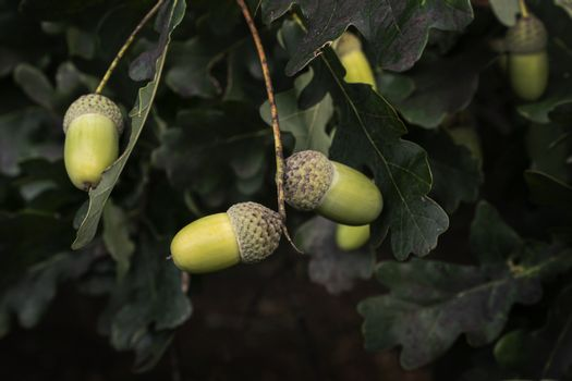 some acorns on the tree in autumn