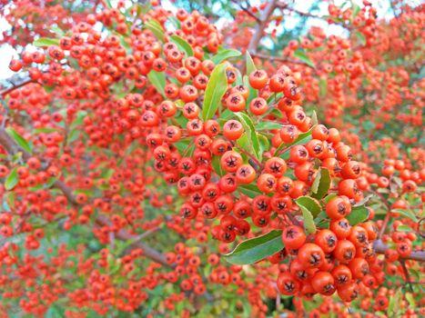 Crataegus monogyna tree with so many fruits. Medicinal plants