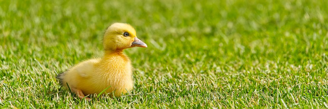 Small newborn ducklings walking on backyard on green grass. Yellow cute duckling running on meadow field in sunny day. Banner or panoramic shot with duck chick on grass