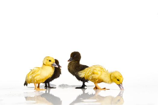 NewBorn little Cute yellow and black ducklings in water on white background