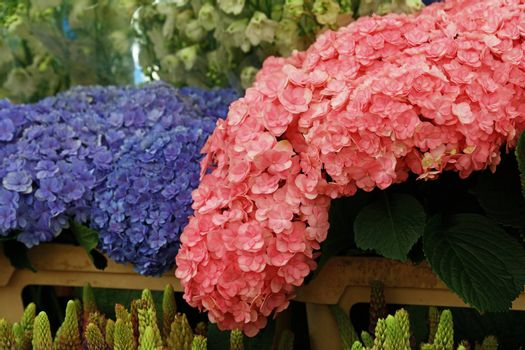 Blue and  pink hydrangea hortensia flowers