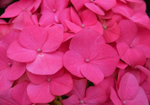 Close up pink hydrangea hortensia flowers
