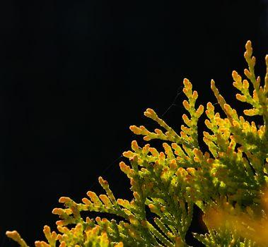 Close up backlit thuja or cedar leaves