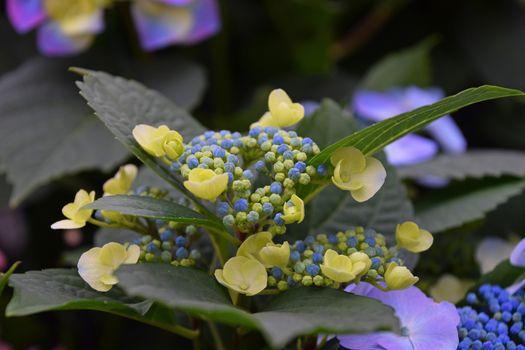 Yellow and blue hydrangea hortensia flowers