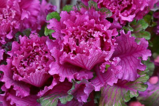 Close up purple rosette of ornamental kale cabbage