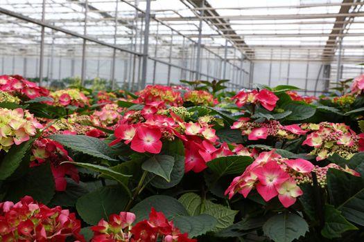 Pink hydrangea hortensia flowers in greenhouse
