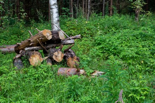 Sawn tree trunk. The wood was cut into stumps in the forest. Firewood from the sawed pine trees lie on the ground.