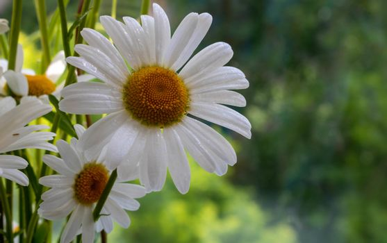 Very beautiful camomile on a green natural background. The concept Of the day of family, love, loyalty.