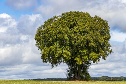 Huge old tree in a field in Tecklenburger Land, Germany.