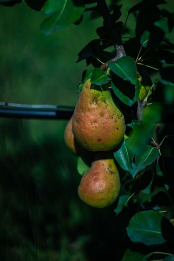 Pear fruit on a tree