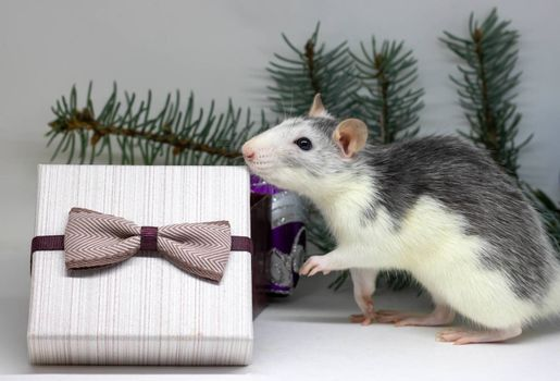 Silver rat and presents. Rat on the background of Christmas decorations. Symbol of 2020. year of rat.