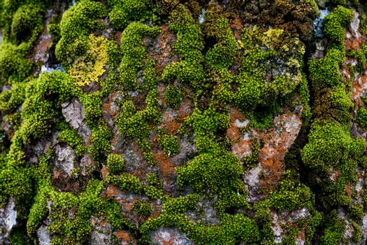 The texture of the tree bark. Shallow moss on the bark. cracked wood texture. Bark background. Evenly lit texture