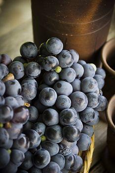 Dark blue grapes wine varieties closeup outdoors