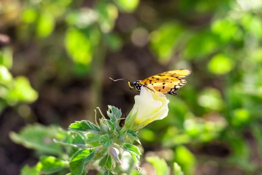 detail of monarch yellow butterfly garden of chennai road side in india