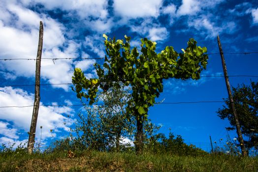Lush vineyard stands out against the blue sky at San Martino in Val D'Afra in Arezzo, Tuscany, Italy