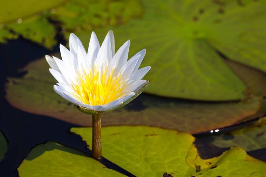 A bright blooming white star lotus waterlily flower (Nymphaea nouchali) surrounded by lily pads, Groot Marico, South Africa