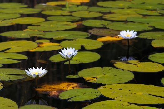 Three blue star lotus waterlilies (Nymphaea nouchali) surrounded by large lily pads, Groot Marico, South Africa